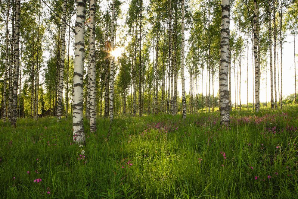 Fototapete birkenwald von sunnydecor for Fototapete birkenwald