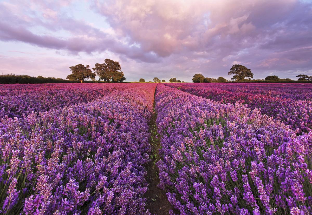 "Fototapeten National Geographic : National Geographic und Melli Mello. Fototapete ""Lavendel"" von Komar"