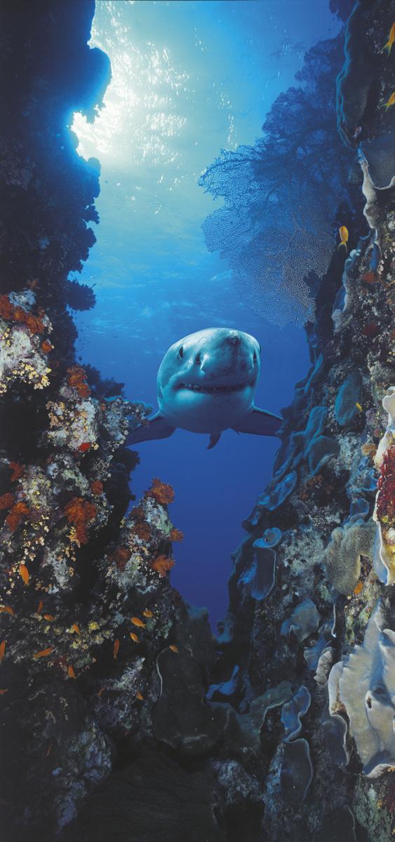 """Fototapeten National Geographic : , National Geographic und Melli Mello. Fototapete """"Shark"""" von Komar"""