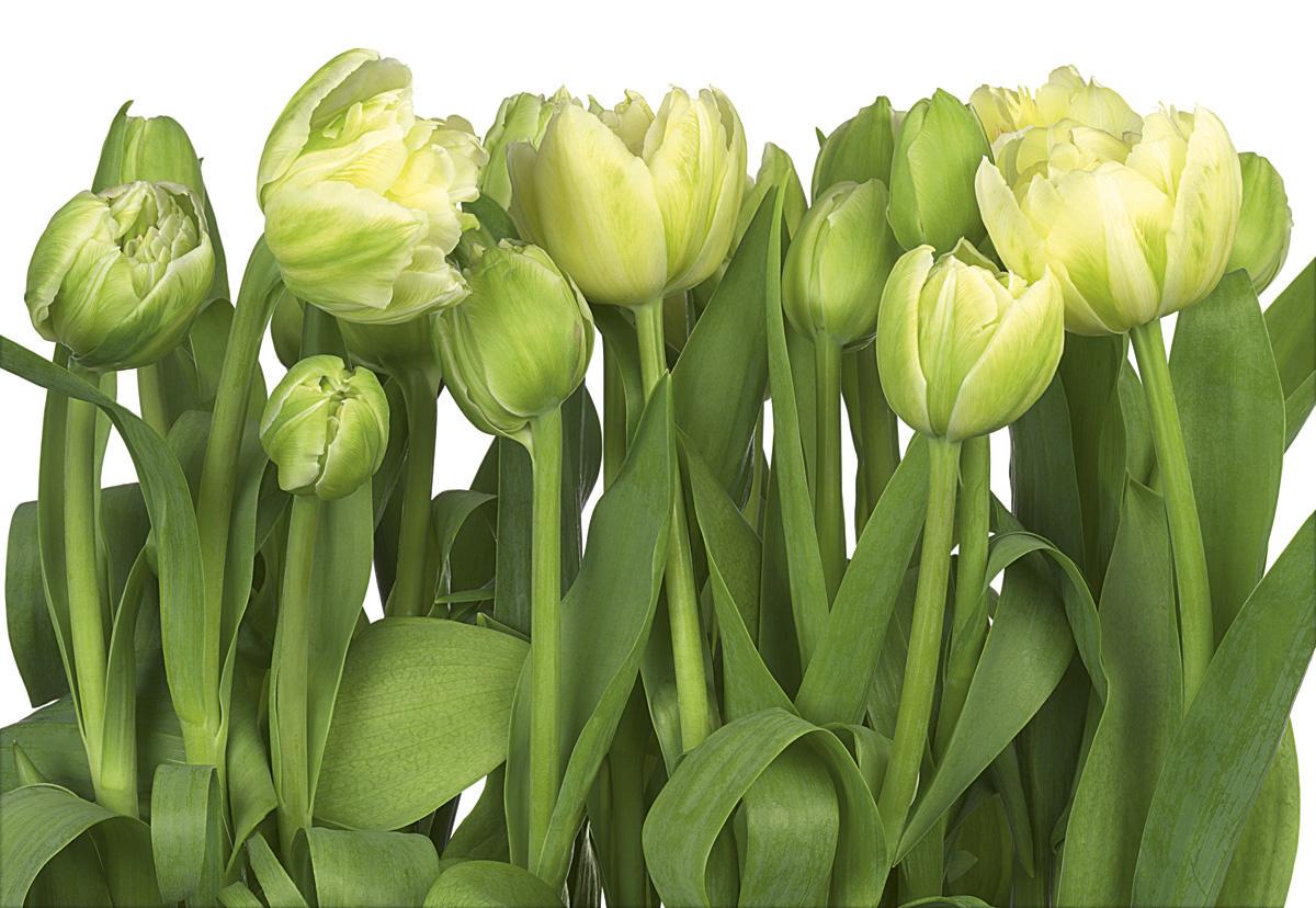 """Fototapeten National Geographic : , National Geographic und Melli Mello. Fototapete """"Tulips"""" von Komar"""