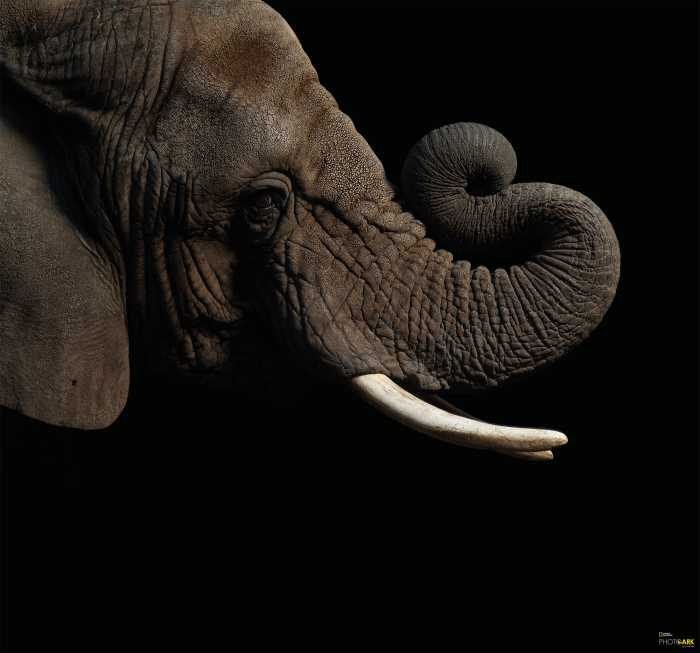 Digitaldrucktapete African Elephant