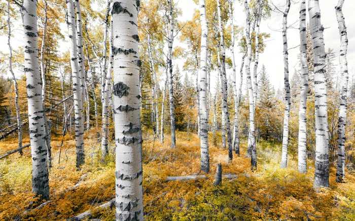 Digitaldrucktapete Colorful Aspenwoods