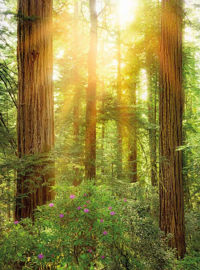 Vliestapete Redwood