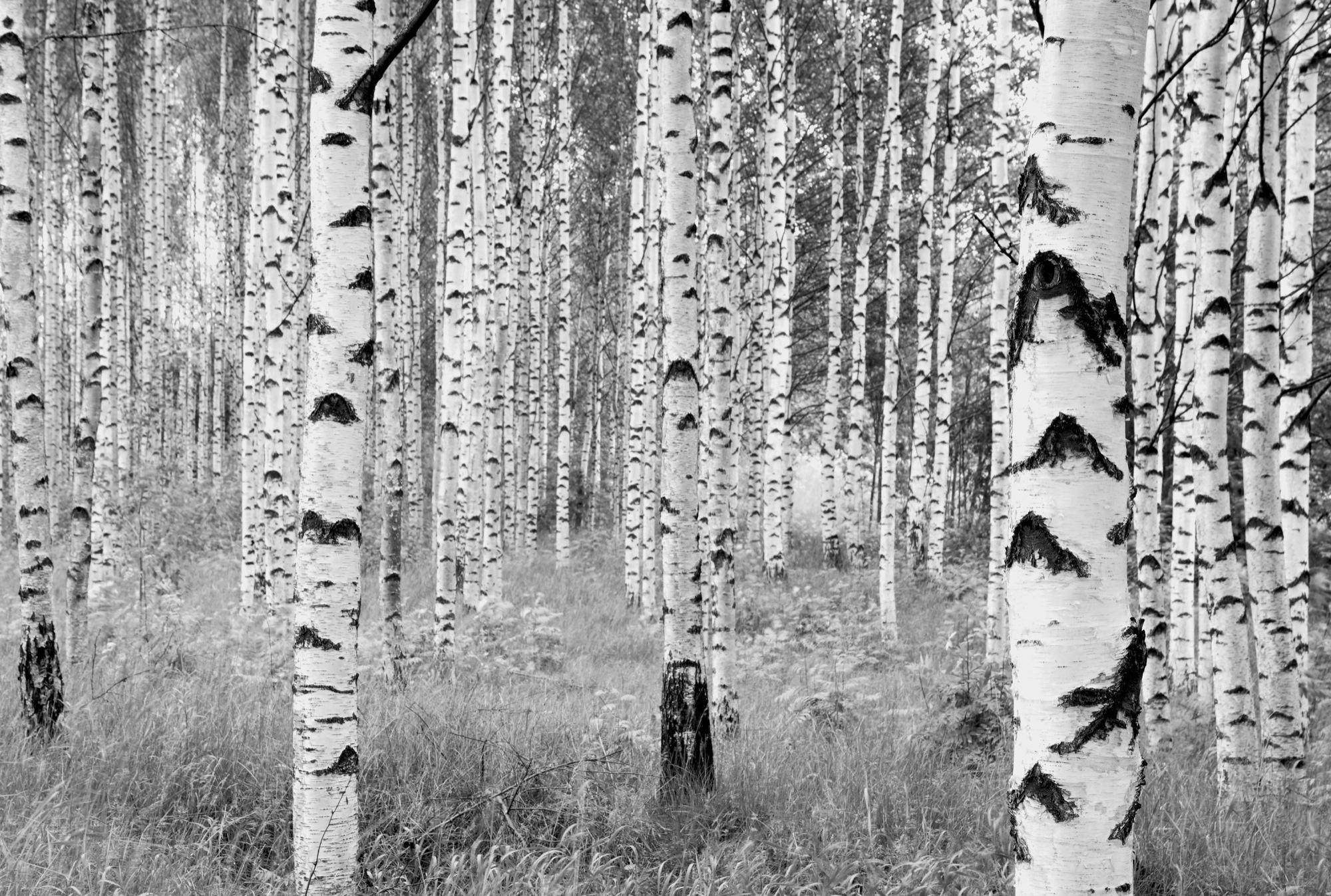 "Fototapete schwarz weiß wald  Vliestapete ""Woods"