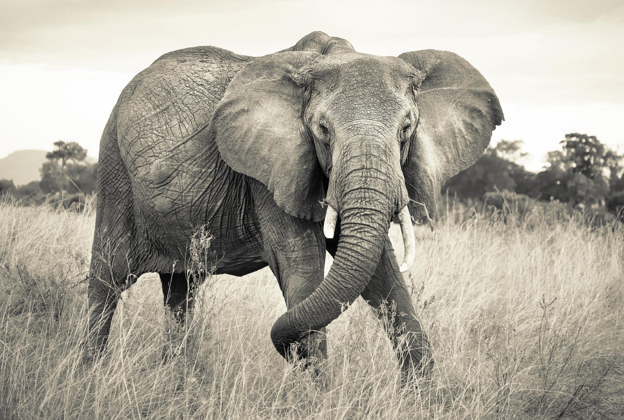 vliestapete elephant von national geographic. Black Bedroom Furniture Sets. Home Design Ideas